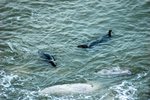Two grey seals swimming in Angel Bay