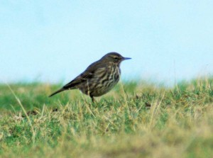 28/1/14-Rock Pipit-Little Orme