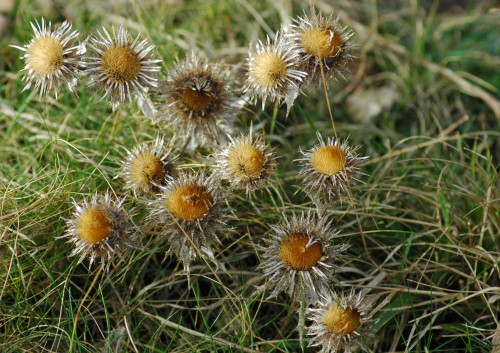 140206-Little Orme 11- Carline Thistle