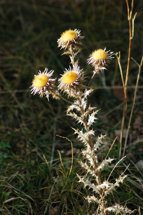 140206-Little Orme 12- Carline Thistle sunlit