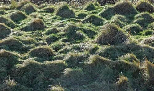 Grassy hummocks