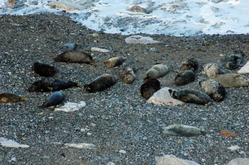 A mixed group of Grey seals