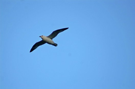 Fulmar glide effortlessly with stiff wings
