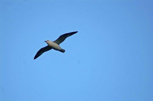 Fulmar glide effortlessly with stiff wings