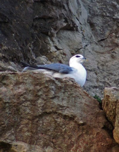 Fulmar sitting on guard