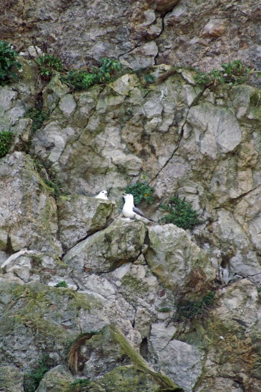 Fulmar pair on a rock ledge