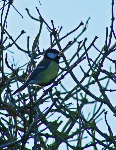 140207-Great tit singing-Little Orme