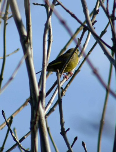 140207-Greenfinch singing-Little Orme