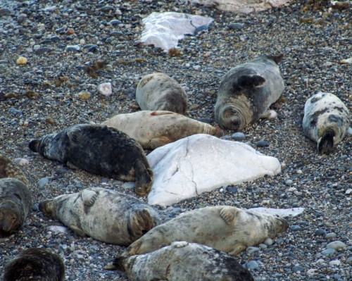 Many of the seals were asleep on their backs
