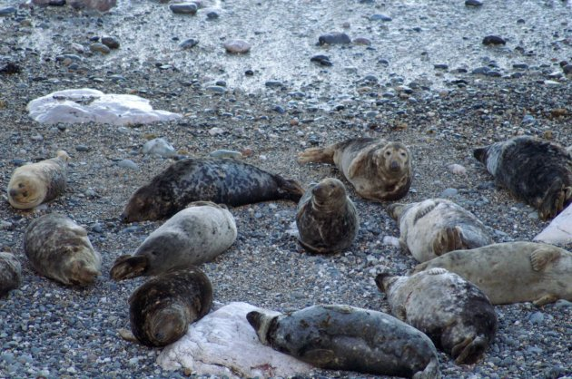 140207TGEN-Grey seals-Little Orme