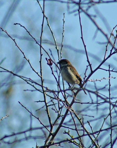 140207-House sparrow eating-Little Orme