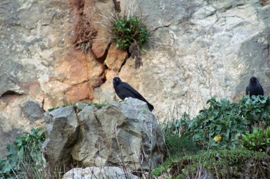 Jackdaws up on the cliff-Wild Cabbage has established up there