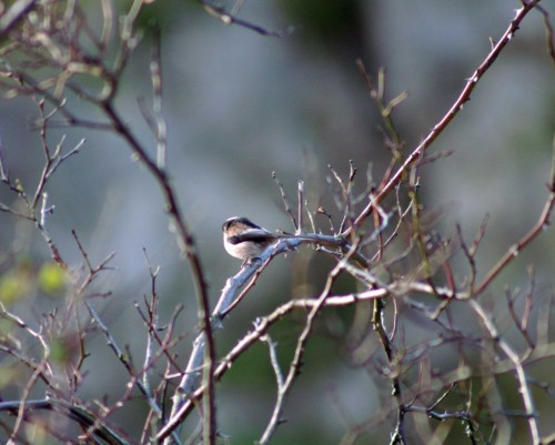 140207-Long-tailed Tit-Little Orme