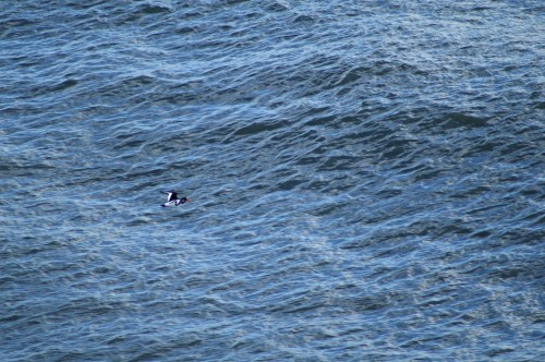 From the cliff and Oyster catcher is a tiny black and white speck against a wind-ruffled sea