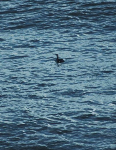 140207-Red-throated Diver-Little Orme
