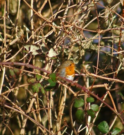 140207-Robin in a bush singing-Little Orme