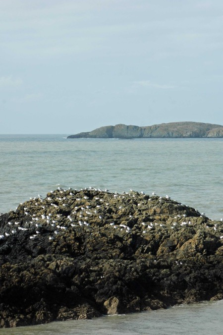 Rocky Island dotted with Herring Gulls