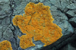 golden- orange lichen-xanthoria parietina