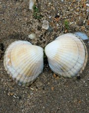 Common cockle-Cerasoderma edule-Newborough Sands, Angelsey