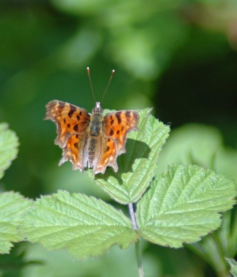 A lovely basking Comma