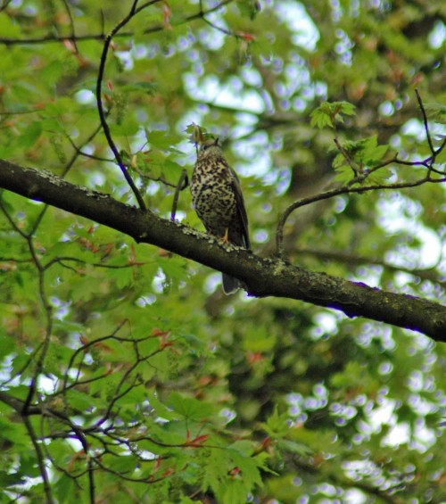 A well-marked, singing mistle thrush
