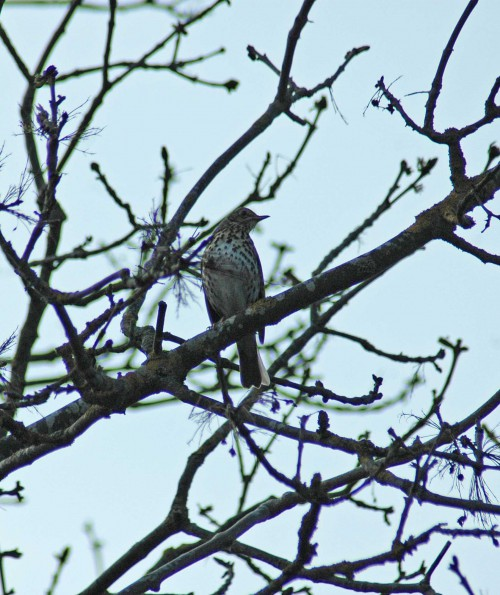 Mistle thrush singing from ash tree