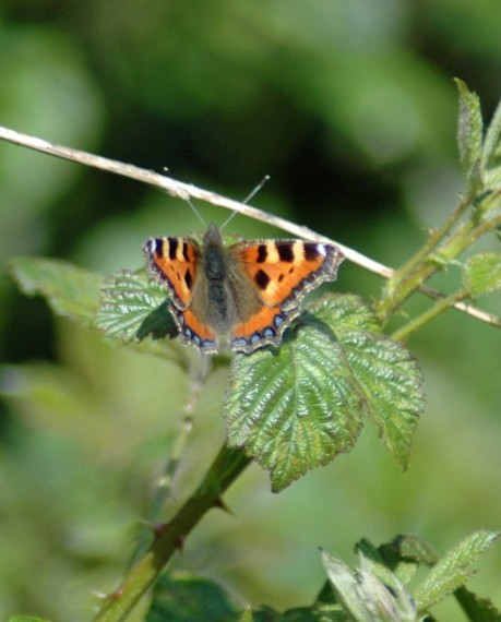 A Small Tortoiseshell competing for territory with the Peacock