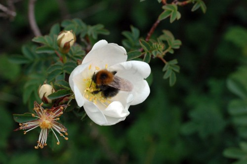 This small bumblebee was enjoying a really good rummage around