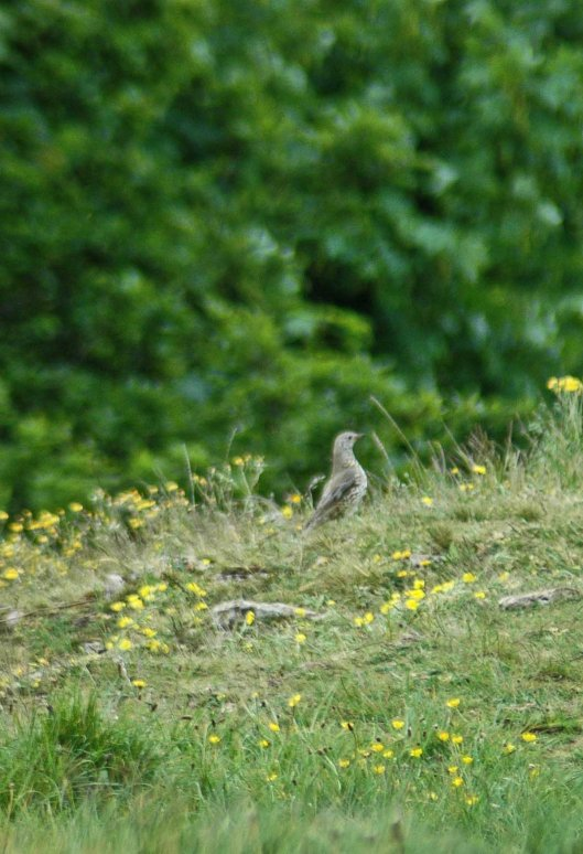 A mistle thrush out hunting