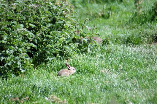 May 31st: Baby rabbit on the Little Orme
