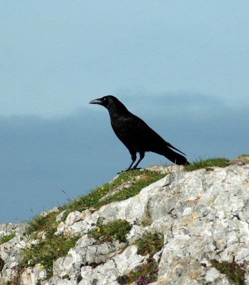 June: Young Raven on the summit of Bryn Euryn