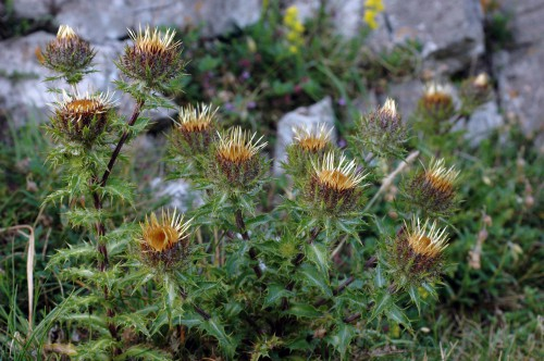 Carline thistle- Carlina vulgaris