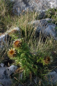 Carline thistle plant growing amongst rocks on Bryn Euryn