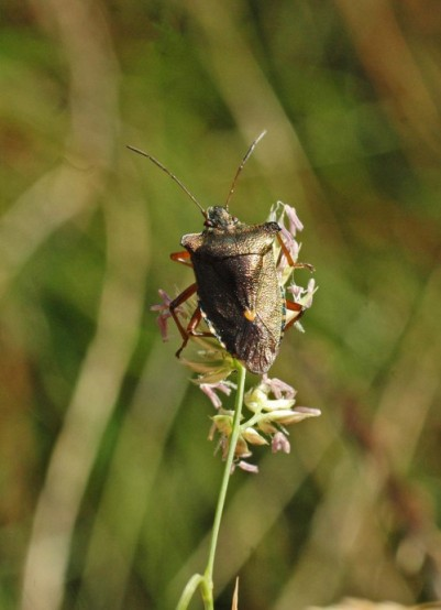 Forest bug- Pentatoma rufipes