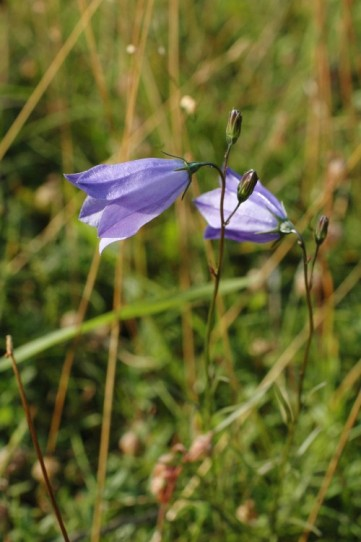 Harebell- Campanula rotundifolia