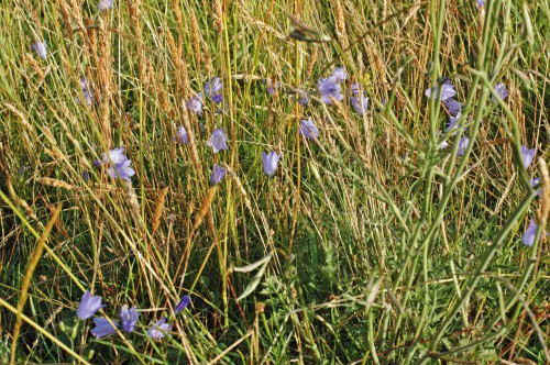 Harebells in long grass