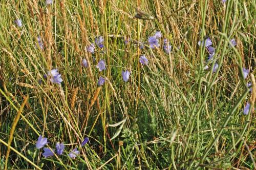 Harebells in long grass