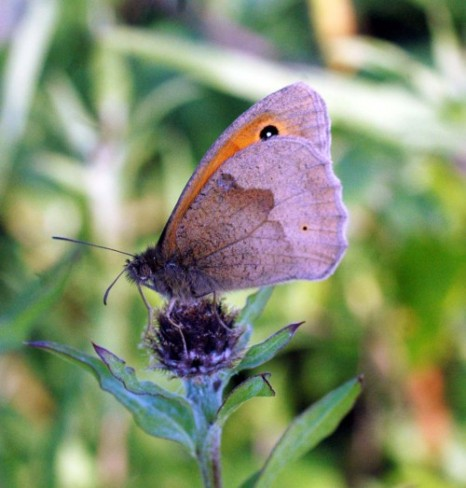 Meadow Brown butterfly on the bud of a knapweed