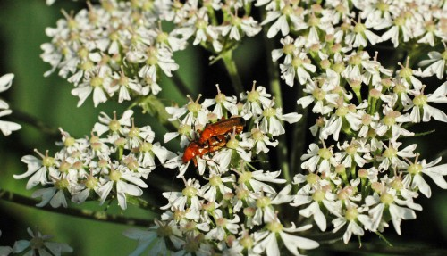 Soldier beetles mating on a hogweed flower
