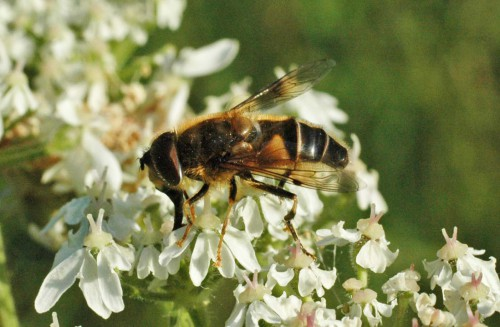 A Tapered Drone Fly- Eristalis pertinax on hogweed