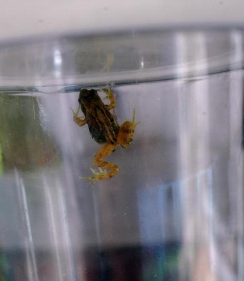 20th July: A tiny froglet