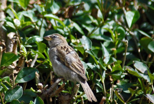 July 20th: A very young House sparrow out for a first outing