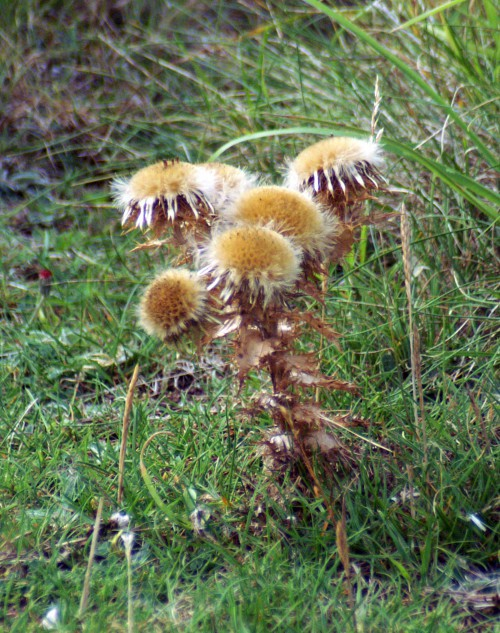 Seedheads on a plant already drying out
