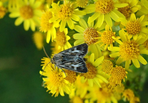 An attractive little Antler moth  on ragwort flowers