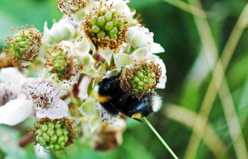 A sleepy bumblebee curled around a blackberry