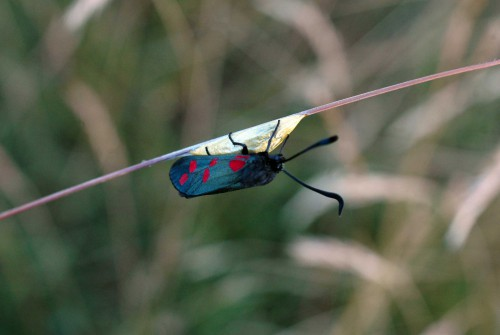 A 6-spot Burnet moth on top of an as-yet unbroken pupa