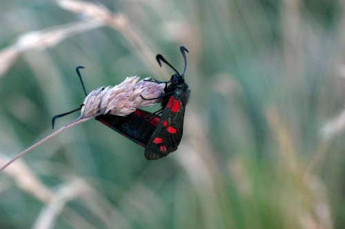 6-spot Burnet moths mating