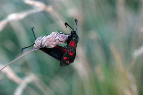 6-spot Burnet moths mating