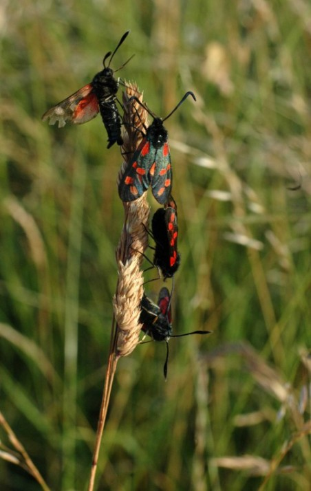 Cluster of 6-spot Burnet Moths