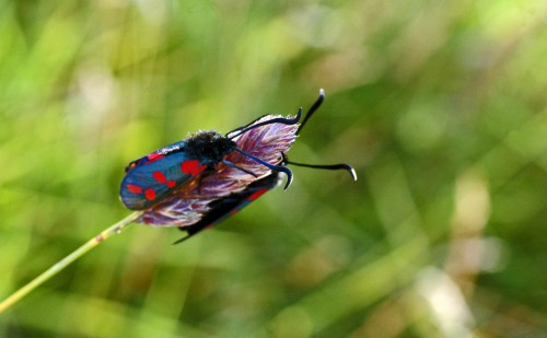 6-spot Burnet moths either side of a grasshead